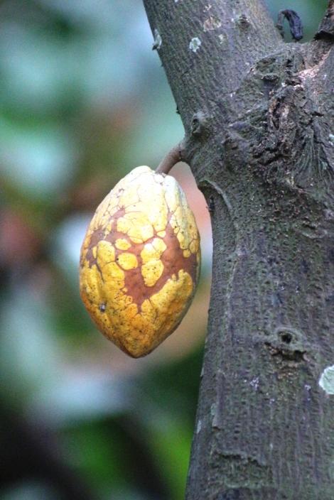 Buah Kakao, yang bijinya bisa diolah menjadi coklat.
